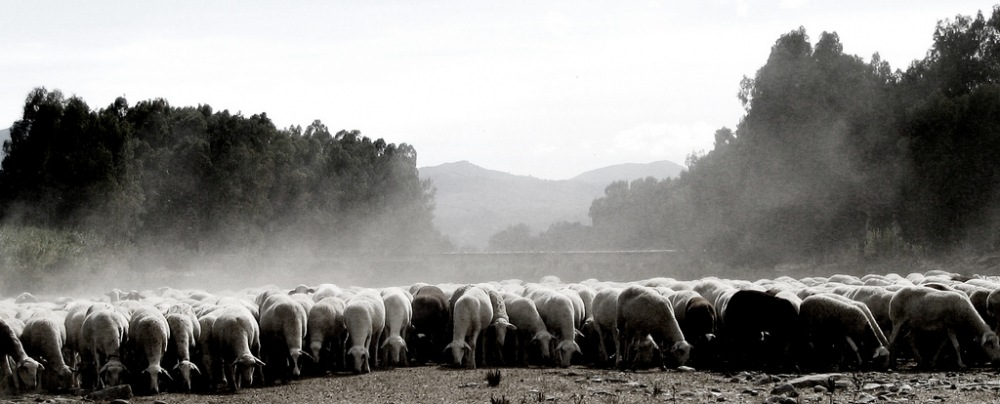 photoblog image Sheep